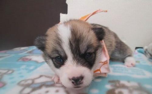 ウェルシュ・コーギー・ペンブロークの子犬(ID:1255611083)の1枚目の写真/更新日:2019-09-30