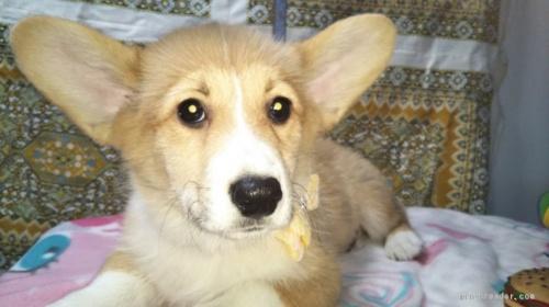 ウェルシュ・コーギー・ペンブロークの子犬(ID:1255611085)の1枚目の写真/更新日:2019-09-30