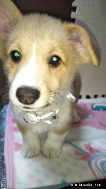 ウェルシュ・コーギー・ペンブロークの子犬(ID:1255611087)の1枚目の写真/更新日:2017-02-07