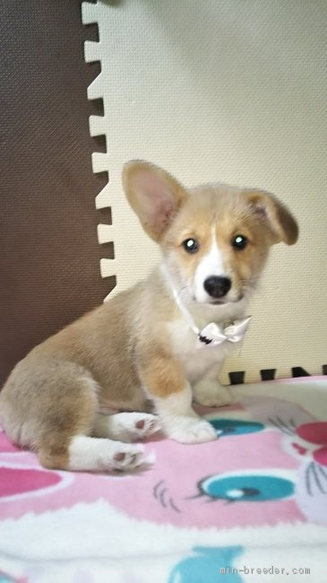 ウェルシュ・コーギー・ペンブロークの子犬(ID:1255611087)の3枚目の写真/更新日:2017-02-07