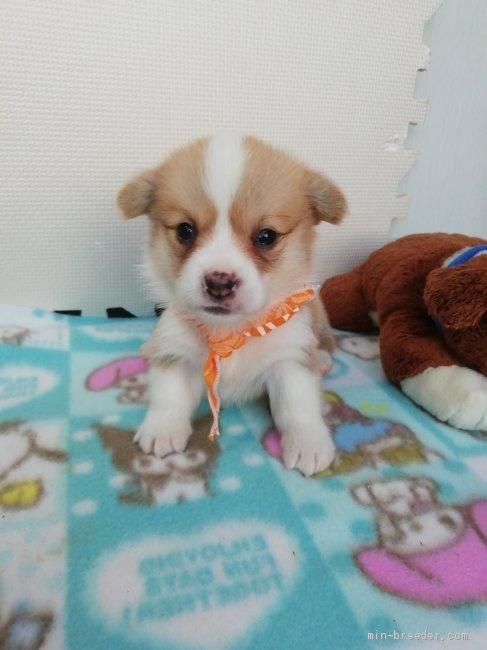 ウェルシュ・コーギー・ペンブロークの子犬(ID:1255611089)の1枚目の写真/更新日:2017-02-07