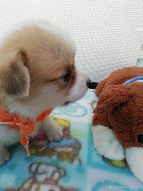 ウェルシュ・コーギー・ペンブロークの子犬(ID:1255611089)の4枚目の写真/更新日:2017-02-07