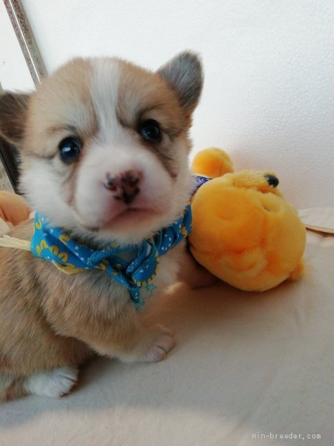 ウェルシュ・コーギー・ペンブロークの子犬(ID:1255611090)の1枚目の写真/更新日:2021-04-29