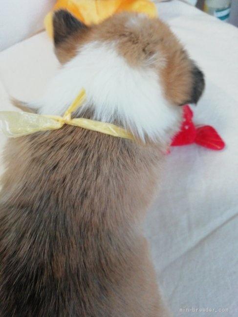 ウェルシュ・コーギー・ペンブロークの子犬(ID:1255611090)の2枚目の写真/更新日:2021-04-29