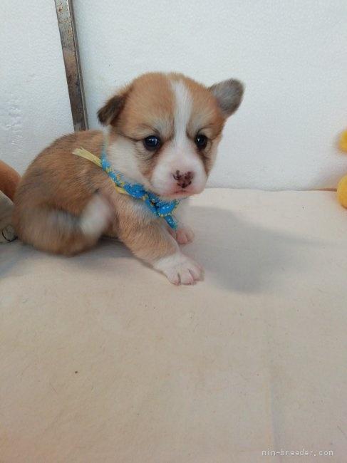 ウェルシュ・コーギー・ペンブロークの子犬(ID:1255611090)の3枚目の写真/更新日:2021-04-29