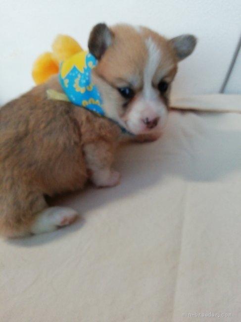 ウェルシュ・コーギー・ペンブロークの子犬(ID:1255611090)の4枚目の写真/更新日:2021-04-29