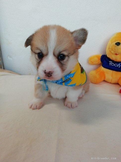 ウェルシュ・コーギー・ペンブロークの子犬(ID:1255611090)の5枚目の写真/更新日:2021-04-29