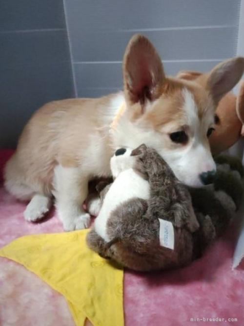 ウェルシュ・コーギー・ペンブロークの子犬(ID:1255611091)の3枚目の写真/更新日:2021-04-29