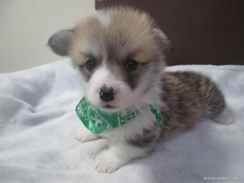ウェルシュ・コーギー・ペンブロークの子犬(ID:1255611093)の1枚目の写真/更新日:2017-03-21