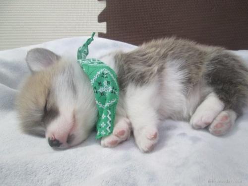 ウェルシュ・コーギー・ペンブロークの子犬(ID:1255611093)の3枚目の写真/更新日:2020-04-01