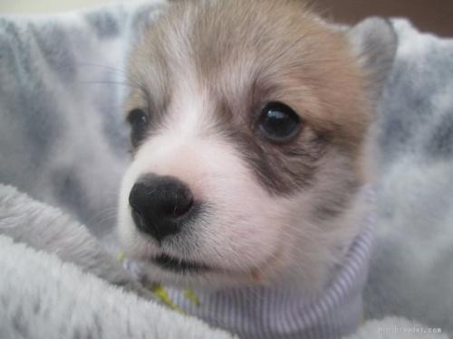 ウェルシュ・コーギー・ペンブロークの子犬(ID:1255611094)の1枚目の写真/更新日:2017-03-21