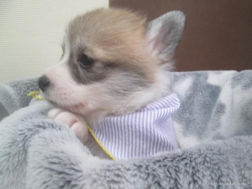 ウェルシュ・コーギー・ペンブロークの子犬(ID:1255611094)の3枚目の写真/更新日:2017-03-21
