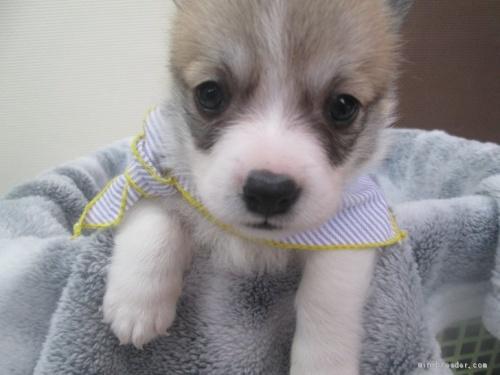 ウェルシュ・コーギー・ペンブロークの子犬(ID:1255611094)の4枚目の写真/更新日:2017-03-21