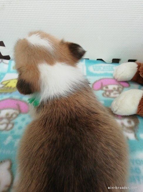ウェルシュ・コーギー・ペンブロークの子犬(ID:1255611097)の2枚目の写真/更新日:2017-06-26