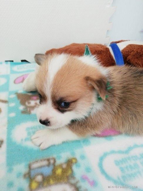 ウェルシュ・コーギー・ペンブロークの子犬(ID:1255611097)の3枚目の写真/更新日:2017-06-26