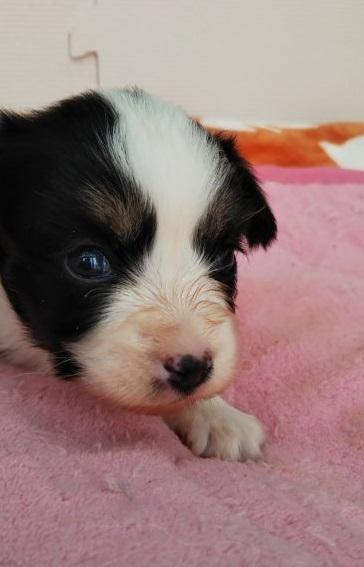 パピヨンの子犬(ID:1255611098)の3枚目の写真/更新日:2017-07-18