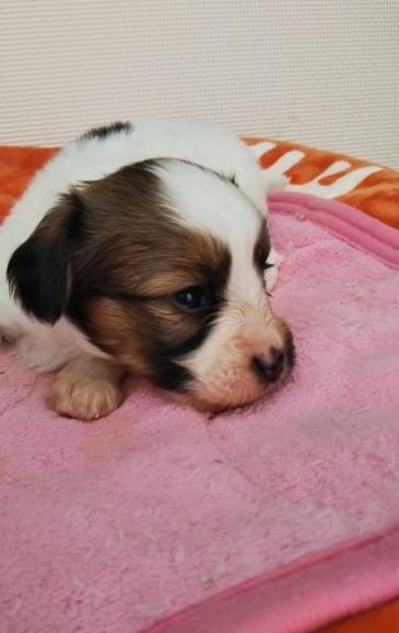 パピヨンの子犬(ID:1255611099)の3枚目の写真/更新日:2017-07-18