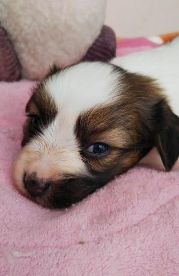 パピヨンの子犬(ID:1255611099)の4枚目の写真/更新日:2019-02-08