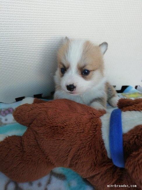 ウェルシュ・コーギー・ペンブロークの子犬(ID:1255611100)の1枚目の写真/更新日:2017-07-22