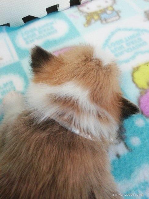ウェルシュ・コーギー・ペンブロークの子犬(ID:1255611100)の2枚目の写真/更新日:2017-07-22