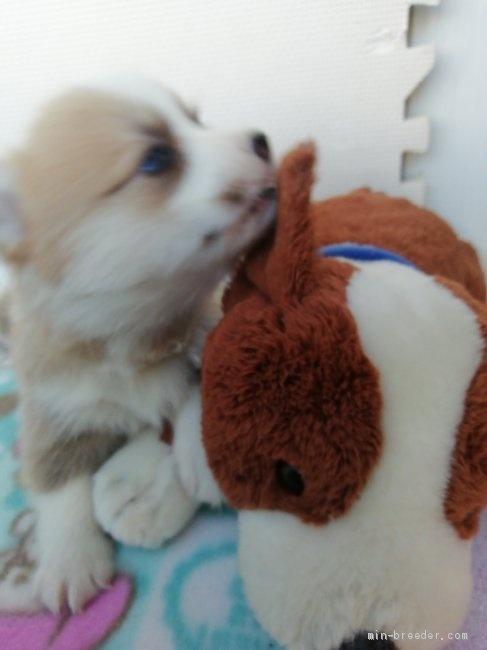 ウェルシュ・コーギー・ペンブロークの子犬(ID:1255611100)の3枚目の写真/更新日:2017-07-22