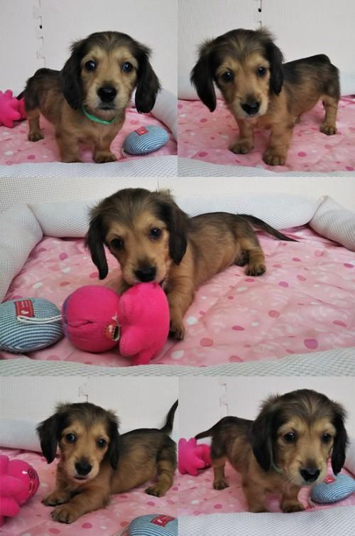 カニンヘンダックスフンド(ロング)の子犬(ID:1255611102)の1枚目の写真/更新日:2017-07-22