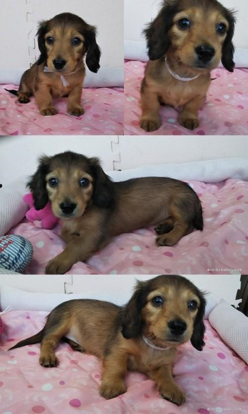 カニンヘンダックスフンド(ロング)の子犬(ID:1255611103)の1枚目の写真/更新日:2017-07-24