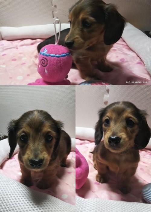 カニンヘンダックスフンド(ロング)の子犬(ID:1255611105)の1枚目の写真/更新日:2017-07-24