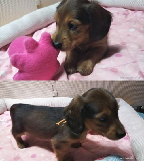 カニンヘンダックスフンド(ロング)の子犬(ID:1255611105)の2枚目の写真/更新日:2017-07-24