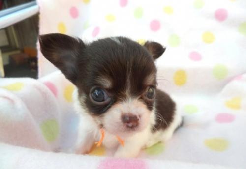 チワワ(ロング)の子犬(ID:1255611106)の1枚目の写真/更新日:2017-09-15