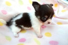 チワワ(ロング)の子犬(ID:1255611106)の2枚目の写真/更新日:2017-09-15