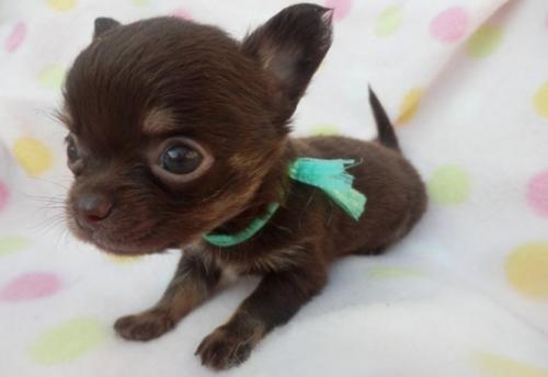 チワワ(ロング)の子犬(ID:1255611107)の1枚目の写真/更新日:2017-09-15