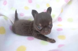 チワワ(ロング)の子犬(ID:1255611107)の2枚目の写真/更新日:2017-09-15