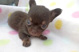 チワワ(ロング)の子犬(ID:1255611107)の3枚目の写真/更新日:2017-09-15
