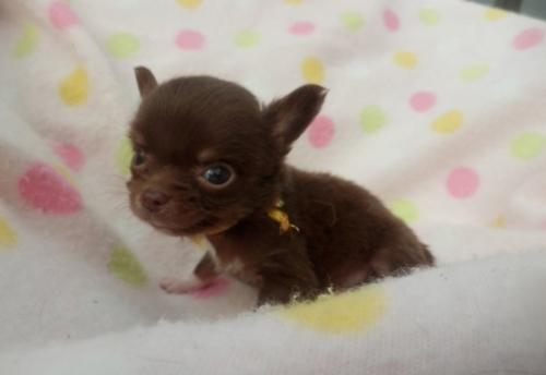 チワワ(ロング)の子犬(ID:1255611108)の1枚目の写真/更新日:2017-09-15