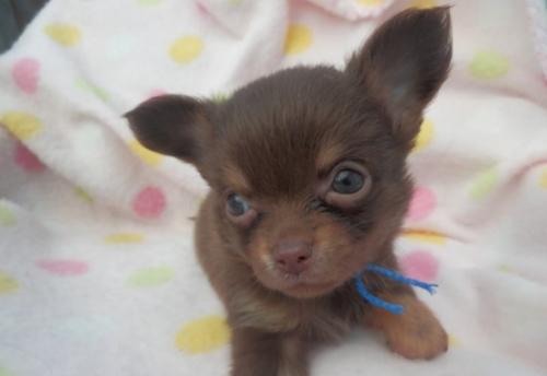 チワワ(ロング)の子犬(ID:1255611109)の1枚目の写真/更新日:2017-09-15
