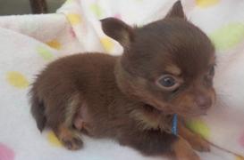 チワワ(ロング)の子犬(ID:1255611109)の3枚目の写真/更新日:2017-09-15