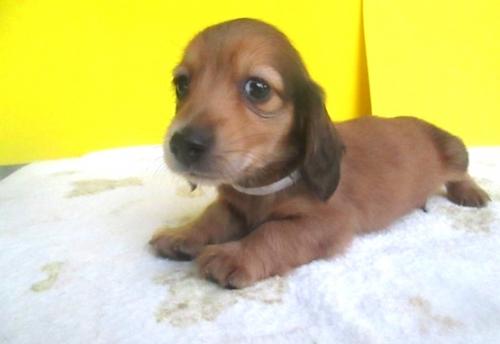 ミニチュアダックスフンド(ロング)の子犬(ID:1255611111)の1枚目の写真/更新日:2017-09-15