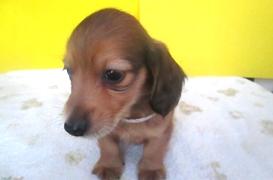 ミニチュアダックスフンド(ロング)の子犬(ID:1255611111)の2枚目の写真/更新日:2017-09-15