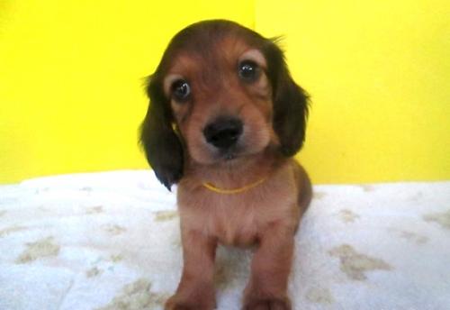 ミニチュアダックスフンド(ロング)の子犬(ID:1255611112)の1枚目の写真/更新日:2017-09-15