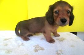 ミニチュアダックスフンド(ロング)の子犬(ID:1255611112)の2枚目の写真/更新日:2017-09-15