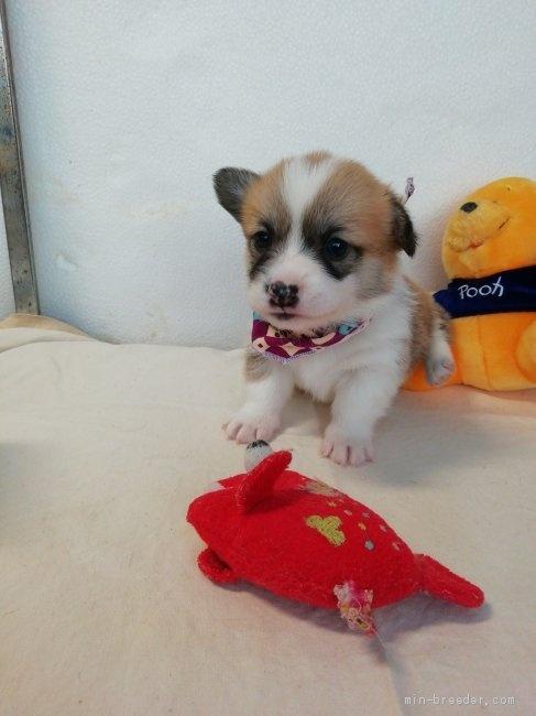 ウェルシュ・コーギー・ペンブロークの子犬(ID:1255611115)の1枚目の写真/更新日:2021-04-29