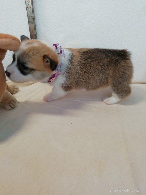 ウェルシュ・コーギー・ペンブロークの子犬(ID:1255611115)の3枚目の写真/更新日:2021-04-29