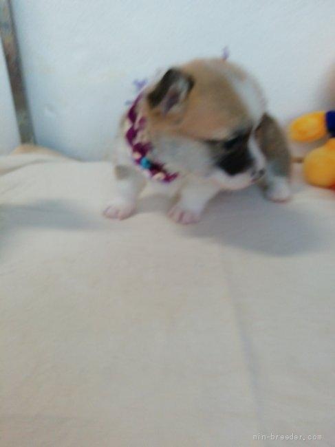 ウェルシュ・コーギー・ペンブロークの子犬(ID:1255611115)の4枚目の写真/更新日:2021-04-29