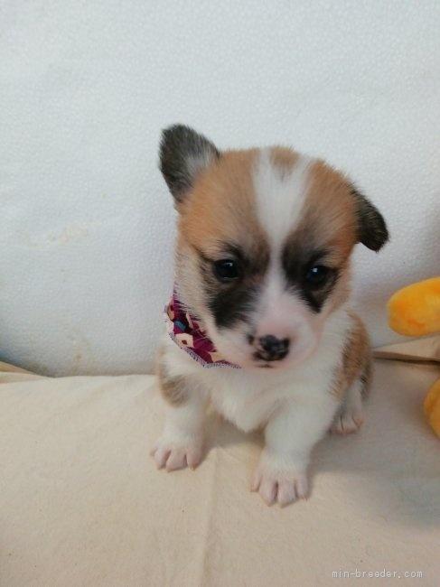 ウェルシュ・コーギー・ペンブロークの子犬(ID:1255611115)の5枚目の写真/更新日:2021-04-29