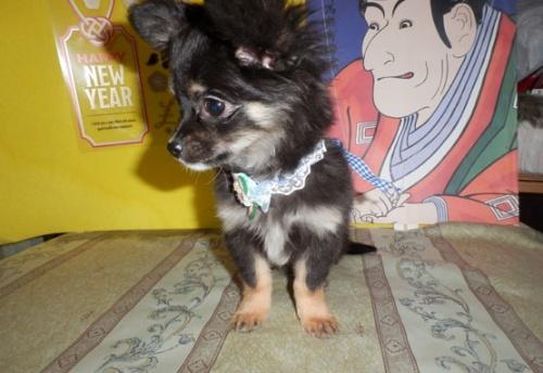 チワワ(ロング)の子犬(ID:1255611119)の1枚目の写真/更新日:2018-01-08