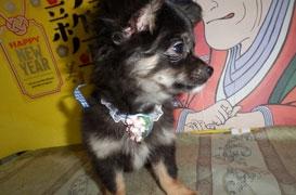 チワワ(ロング)の子犬(ID:1255611119)の2枚目の写真/更新日:2018-01-08