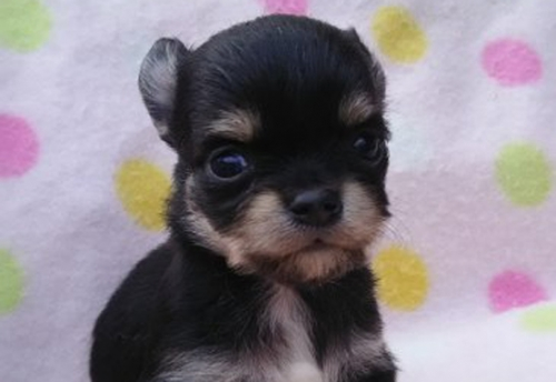 チワワ(ロング)の子犬(ID:1255611120)の1枚目の写真/更新日:2017-10-23