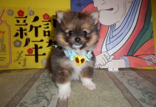 ポメラニアンの子犬(ID:1255611121)の1枚目の写真/更新日:2018-01-08