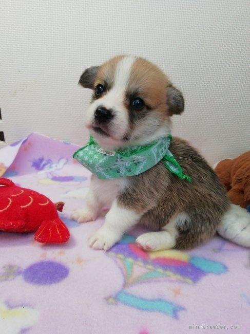ウェルシュ・コーギー・ペンブロークの子犬(ID:1255611123)の1枚目の写真/更新日:2018-01-29